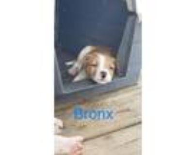 Adopt Bronx a Pit Bull Terrier, Australian Cattle Dog / Blue Heeler