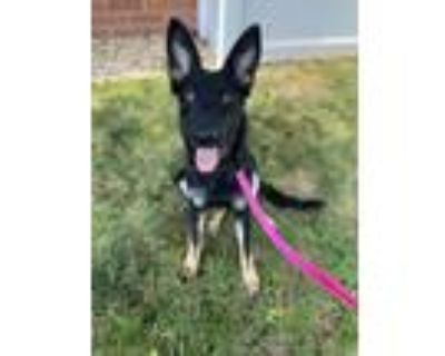 Adopt Asha a German Shepherd Dog