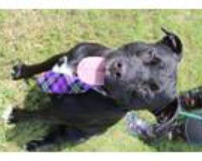 Adopt Bubba a Black Labrador Retriever / Mixed dog in Abbeville, LA (31160665)