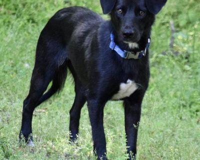 Roxy 10848 - Retriever, Labrador/Mix - Adult Female