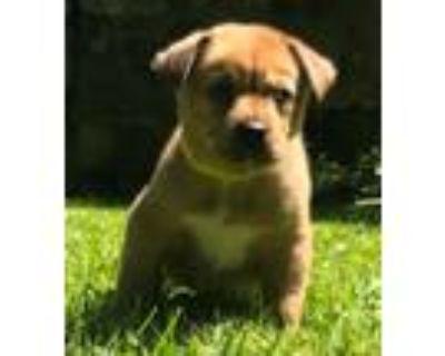 Adopt Saru a Siberian Husky / Shepherd (Unknown Type) / Mixed dog in Matawan