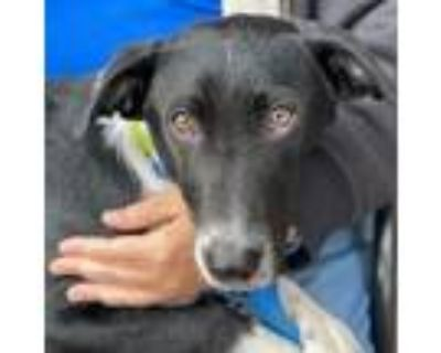 Adopt Marvin & St. Charles (Monopoly Puppies) a Labrador Retriever