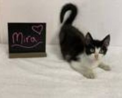 Adopt Mira a All Black Domestic Shorthair / Domestic Shorthair / Mixed cat in