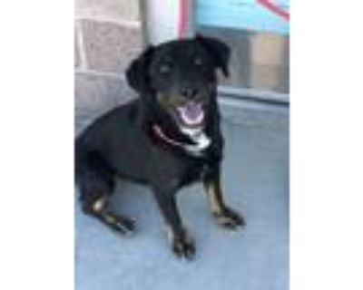 Adopt NELSON a Border Collie, Mixed Breed