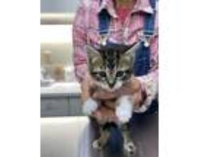 Adopt SVB Sally PR #1 - Cordelia a Domestic Shorthair / Mixed (short coat) cat