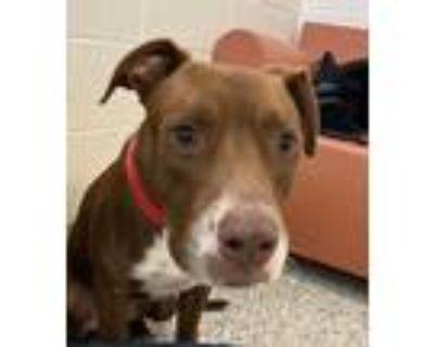 Adopt Gibbs a Labrador Retriever / Mixed dog in Golden, CO (31933220)