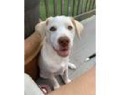 Adopt Alpha a White - with Brown or Chocolate Husky / Labrador Retriever / Mixed