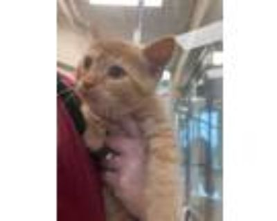 Adopt Dalin a Orange or Red Domestic Shorthair / Domestic Shorthair / Mixed cat