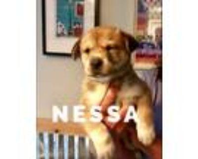 Adopt NESSA a Tricolor (Tan/Brown & Black & White) Golden Retriever / Chow Chow