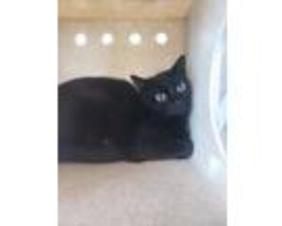 Adopt Barn Cat Evil Queen a All Black Domestic Mediumhair / Domestic Shorthair /