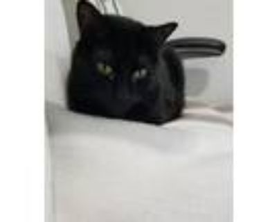 Adopt Sawyer a All Black American Shorthair / Mixed (short coat) cat in Richland