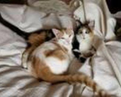 Adopt Turbo & Trixie a Domestic Short Hair
