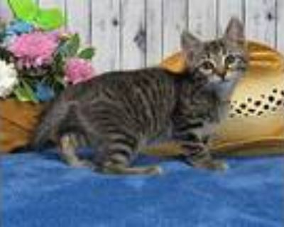 Alder, Domestic Shorthair For Adoption In Roanoke, Texas