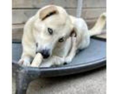 Adopt ZIVA BLUE EYES a Tan/Yellow/Fawn Anatolian Shepherd / Siberian Husky /