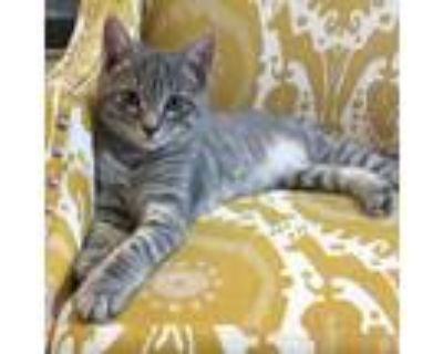 Adopt Smiley a Domestic Shorthair / Mixed cat in Potomac, MD (31593881)