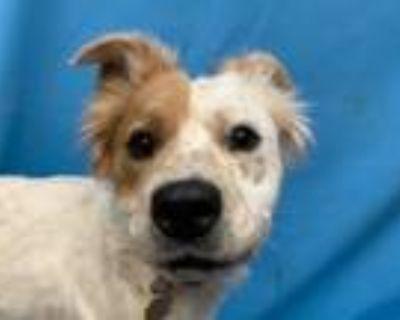 Adopt Mara a Collie, Mixed Breed