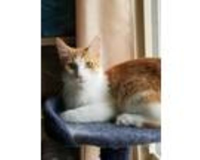 Adopt Beatle's Cats: Walrus (Has Application) a Domestic Shorthair / Mixed cat