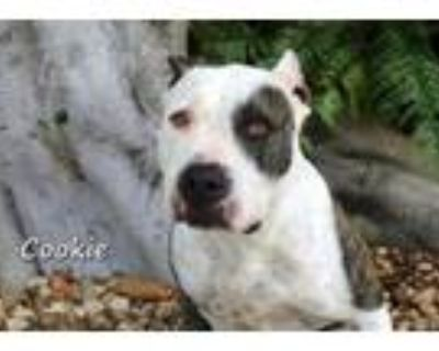 Adopt COOKIE a Pit Bull Terrier