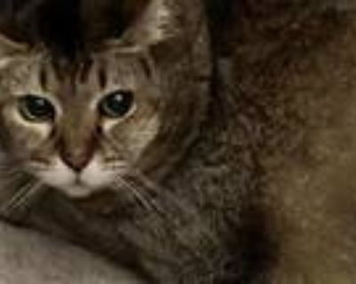 Adopt Kula a Tan or Fawn (Mostly) Abyssinian / Mixed (short coat) cat in