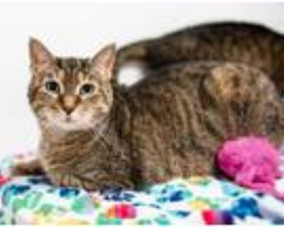 Adopt Penny a Brown or Chocolate Domestic Shorthair / Domestic Shorthair / Mixed