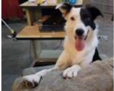 Adopt Willy a Border Collie