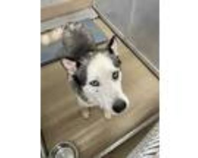 Adopt 47999275 a Black Husky / Mixed dog in Fort Worth, TX (31611922)