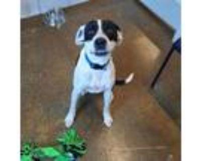 Adopt Buster Kyle a Labrador Retriever, Boxer