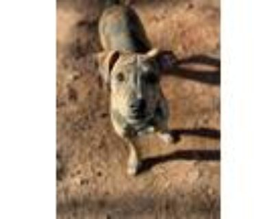 Adopt Chopper a Brindle - with White Husky / Hound (Unknown Type) / Mixed dog in