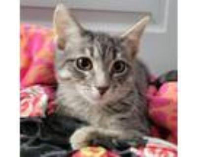 Adopt Nessie a Domestic Short Hair