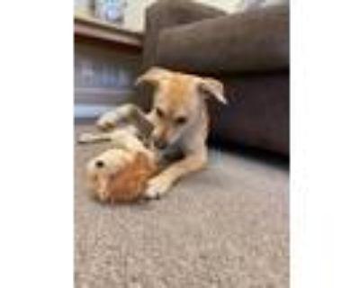 Adopt Penelope a Tan/Yellow/Fawn Labrador Retriever / Mixed Breed (Medium) /