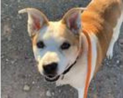 Adopt PRINCE a Australian Cattle Dog / Blue Heeler, Mixed Breed