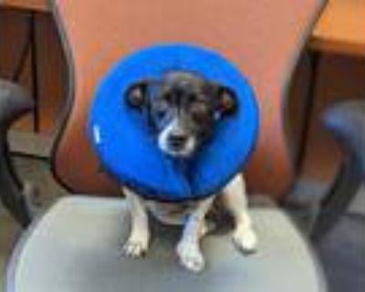 Adopt DUDLEY SMORES a White - with Black Rat Terrier / Mixed dog in Phoenix