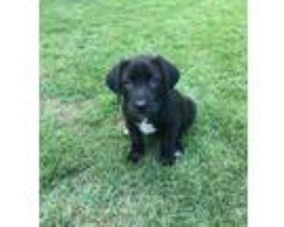 Adopt Annie a Black Labrador Retriever / Mixed dog in Cumming, GA (31618172)