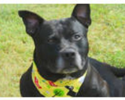 Adopt INTERNET EXPLORER a Black American Pit Bull Terrier / Mixed dog in