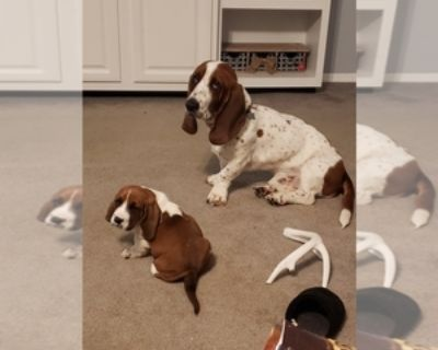 BASSETS COMING IN MARCH TO SUFFOLK VA