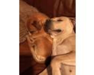 Adopt Duet Twyla and Banjo a Brown/Chocolate - with Tan Dachshund / Labrador