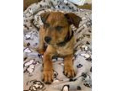 Adopt Balderdash a Brown/Chocolate Boxer dog in Merrifield, VA (31480392)