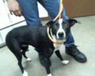 Adopt RIVER a Black - with White Border Collie / Mixed dog in Phoenix