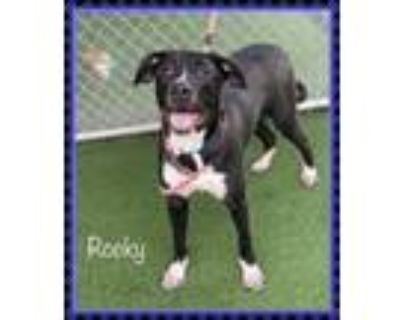 Adopt ROCKY a Black - with White Labrador Retriever / Mixed dog in Marietta