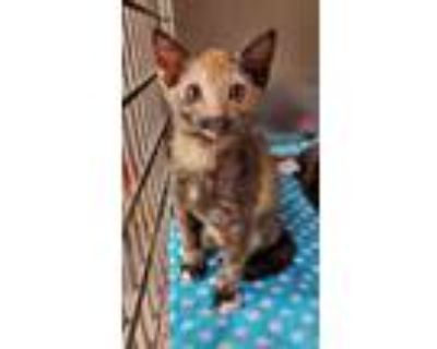 Adopt Jessie a All Black Domestic Shorthair / Domestic Shorthair / Mixed cat in
