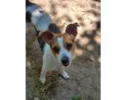 Adopt Cooper a Tricolor (Tan/Brown & Black & White) Jack Russell Terrier / Mixed