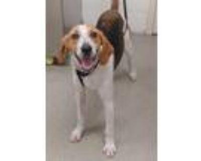 Adopt 47914504 a Tan/Yellow/Fawn Hound (Unknown Type) / Hound (Unknown Type) /