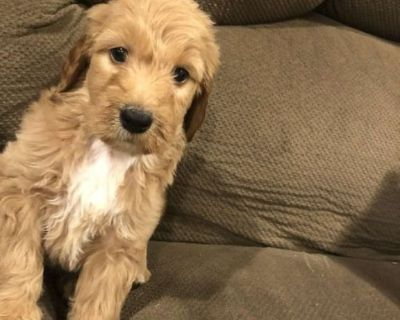 Goldendoodle Puppy Bentley
