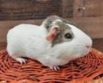 Adopt APPLE a Guinea Pig