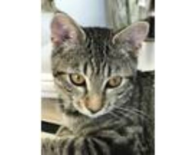 Adopt Athena a Brown Tabby Domestic Shorthair (short coat) cat in San Luis