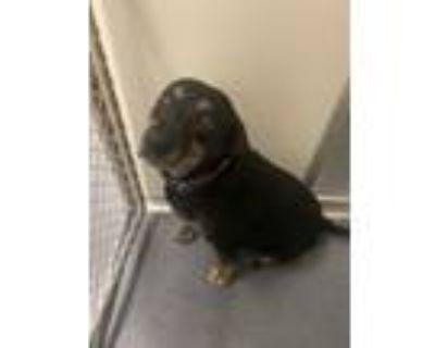 """Adopt DA 8 """"Betsy"""" a Labrador Retriever, Plott Hound"""