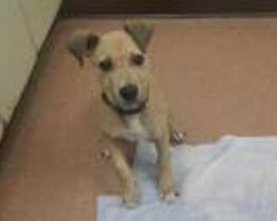 Adopt Hilda a Tan/Yellow/Fawn Collie / Mixed dog in Boulder, CO (32040929)