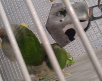 Young quaker parrot