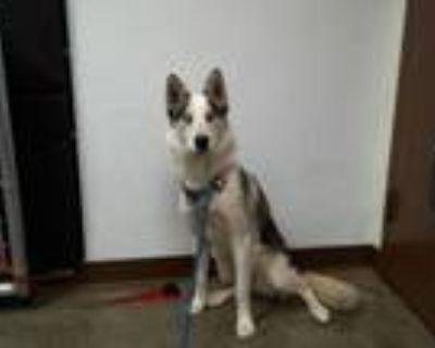 Adopt PENNY a Siberian Husky, Mixed Breed