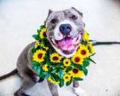 Adopt Dodger a Gray/Blue/Silver/Salt & Pepper Mixed Breed (Large) / Mixed dog in